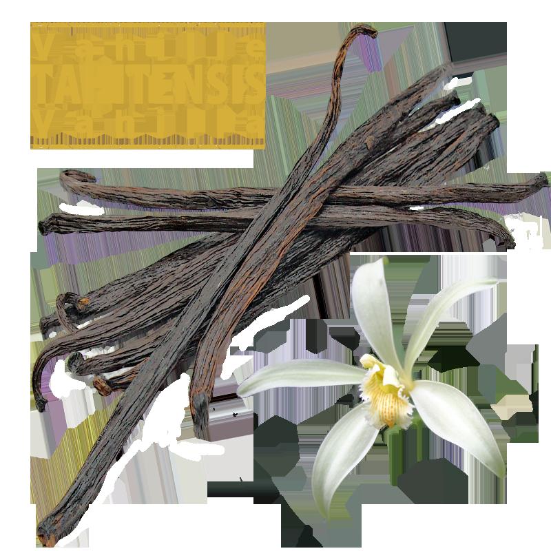Tahitensis Vanilla Pods / 11 to 13cm / 10 Pods