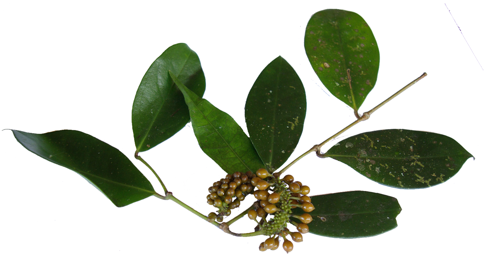 Branche poivre sauvage de Madagascar